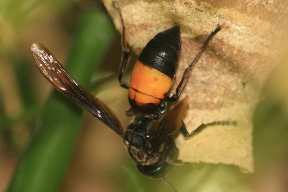 chinese giant hornet - 604×403